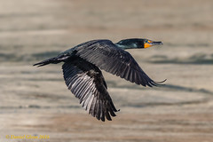 Flight of the cormorant... (danielusescanon) Tags: wild bif flying doublecrestedcormorant phalacrocoraxauritus conowingodam maryland birdperfect animalplanet