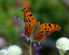 Another Question (KsCattails) Tags: autumn butterfly colorful fall gomphrena kansas kscattails nature orange overlandparkarboretum polygoniainterrogationis questionmark