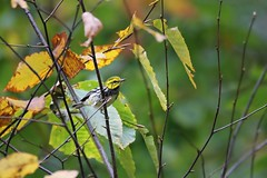 Black-throated Green Warbler (BSendelbach) Tags: warbler blackthroatedgreenwarbler woodwarbler birds backyardbirds yardbirds