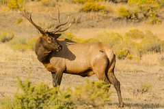 Checking things out {Explored} (ChicagoBob46) Tags: bullelk elk yellowstone yellowstonenationalpark nature wildlife explore explored