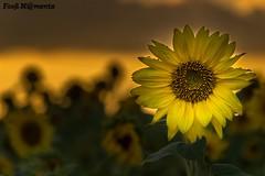 DSC05152-HDR f (Fooß) Tags: sunflower
