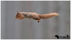 Red Squirrel (Pete Walkden) Tags: red squirrel highlands scotland leaping