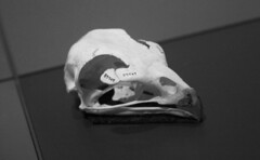 Bird Skull Side View (shaire productions) Tags: skulls animal skull skeleton skeletal bones image picture photo photograph blackandwhite blackandwhitephotograph photography nature taxidermy halloween horror macabre bird beak side view aviary science scientific study