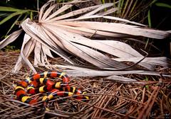 Scarlet Kingsnake (Nick Scobel) Tags: scarlet kingsnake lampropeltis triangulum elapsoides harmless coral snake mimic florida everglades