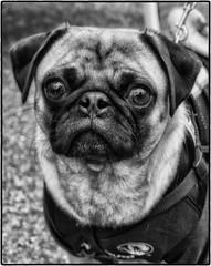 TowerGroveFarmersMarket2016_SAF6310-2 (sara97) Tags: canine dog furryfriend missouri otisthepug outdoors pet petportrait photobysaraannefinke pug saintlouis towergrovefarmersmarket bw blackandwhite blackwhite towergrovepark copyright2016saraannefinke