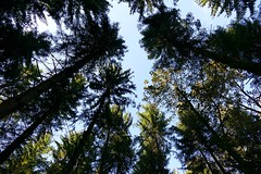 in the forrest / im Wald Switzerland (roli_b) Tags: wald forrest tree baum bume green blue sky bluesky schweiz suisse switzerland suiza svizzera wood woodland bosque selva foret bois natur nature europe october 2016 tanne