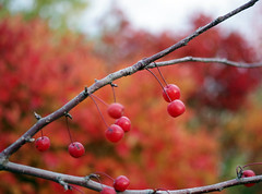 Colorful (ella~d) Tags: autumn colors berries orange red