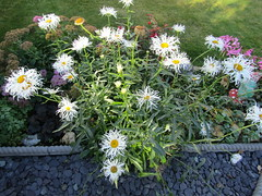 Leucanthemum (wallygrom) Tags: england westsussex angmering merryfieldcrescent
