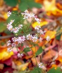 sous-bois (cb cline) Tags: sousbois automne fleurs petites feuilles mortes couleurs fort profondeurdechamps feuillage plante dcomposition aster marguerite montral