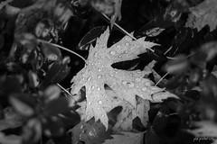 Herbsttropfen (jakob.jonscher) Tags: herbst sw blatt tropfen wasser wassertropfen laub