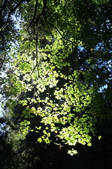Leaves (CAYphotos) Tags: muirwoods redwoods nationalpark millvalley trees