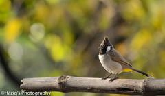 hello winter's.. (haziq ali) Tags: yellowventedbulbul bulbul wildlifeofpakistan wildlife birdsphotography naturephotography nikon nikonphotographer nikonpakistan islamabad pakistan