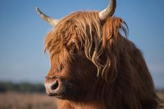 Schotse hooglander(Highland Cow) en Bee-2 (Rudaki1959) Tags: cow highlander animal autumn forest walking sunny nature natuurmonumenten earthnaturelife natural
