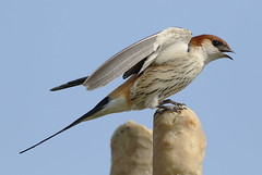 Greater Striped Swallow, Hirundo cucullata (syn. Cecropis cucullata), at Marievale Nature Reserve, Gauteng, South Africa (Derek Keats) Tags: naturereserves birdwatching cecropiscucullata wetlands taxonomy:family=hirundinidae wetland hirundocucullata taxonomy:binomial=cecropiscucullata bird birds birding nature hirundinidae taxonomy:binomial=hirundocucullata greaterstripedswallow naturereserve