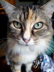 2014- Blossom (teresamarkos) Tags: blossom cat cats kitten kittens felines feline