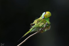 Green Bea-Eater (nomane172) Tags: greenbeaeater beaeater bird animal outdoor wildlife nature wildlifephotography naturephotography birdsofbangladesh dhaka bangladesh nikon nikond750 d750 tamron tamron150600mm 150600mm ngc