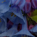 mertensia virginica, ouryard, jdy101 XX200904115359.jpg