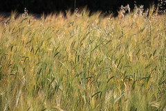 Almost ready for harvest (daniel.virella) Tags: africa ethiopia cereals addisababa entoto