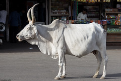 IMG_8099-1ri (kleiner nacktmull) Tags: street camera city india white color colour animal canon lens eos kuh cow rind photo colorful asia asien flickr foto strasse sigma mount stadt colourful dslr abu stephan weiss indien farbig bunt kamera mountabu rajasthan tier 2014 mtabu objektiv weis  nacktmull 24105mm kolle strase apsc 60d  kleinernacktmull stephankolle