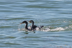 Gimme that!! (dbifulco) Tags: ocean fishing cormorant fighting stealing gulfpier