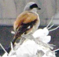 Long-tailed Shrike, Lanius schach (asterisktom) Tags: shrike longtailedshrike rufousbackedshrike laniusschach august 2014 china shanghai pudong bird vogel ave 鸟 niao птица 鳥