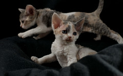 Calico Sisters 3 (peter_hasselbom) Tags: cats cat 50mm kitten flash kittens calico tortie devonrex 6weeksold onblack twocats 2cats 2flashes 2kittens tortiewithwhite