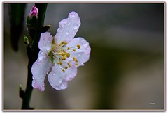 Fiori di  mandorlo (Schano) Tags: macro sony pioggia fioredimandorlo sel55210 sony55210 ilce3000 sonyilce3000 sony3000 sonyemount55200