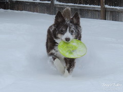 February 22, 2015 - Scout the ThorntonWeather.com mascot doesn't mind the snow. (Tony's Takes)