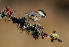 Chestnut-Backed Chickadee (Wes Aslin) Tags: canada bird britishcolumbia langley avian poecilerufescens campbellvalleypark