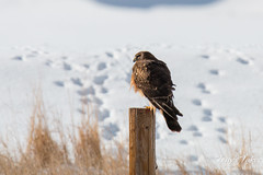 January 2, 2015 - A Northern Harrier in Commerce City looks out at the snow. (Tony's Takes)