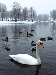 El lago de los cisnes (CLAUDIA COTA) Tags: travel bw white lake snow germany landscape lago photography nieve viajar nevando cota