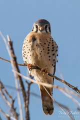 American Kestrel gives a serious stare