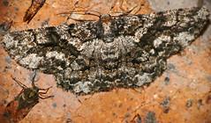 Geometrid Moth (Zeuctoboarmia hyrax) with Planthopper (Dyctiopharidae) (berniedup) Tags: southafrica moth geometridae bergendal kruger planthopper dyctiopharidae taxonomy:binomial=zeuctoboarmiahyrax zeuctoboarmiahyrax
