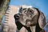 City girl (VanaTulsi) Tags: dog weimaraner weim blueweimaraner vanatulsi blueweim