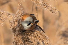 Bearded Reedling-8342 (WendyCoops224) Tags: canon eos bearded rspb lakenheath 70d reedling 100400mml ©wendycooper
