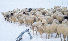 DSC01433 (ekremenak) Tags: photo iceland sheep 1502 150212