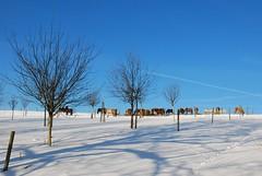 Rhnpferde (Uli He - Fotofee) Tags: schnee winter nikon blau pferde bume schatten uli ulrike birke rhn einsam weis winterbaum nikond80 baumschatten winterbume blauweis einsamebume fotofee ulrikehe ulihe