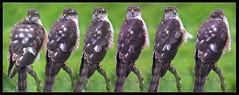 all seeing eyes (Neil Tackaberry) Tags: county ireland wild irish bird animal composite wildlife neil kerry co hunter predator sequence eurasian ornithology birdwatching birdofprey sparrowhawk countykerry cokerry accipiternisus neilt tackaberry birdwatchireland northkerry neiltackaberry birdwatchfb