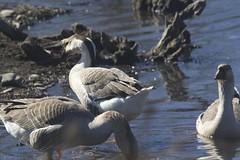IMG_7799 (armadil) Tags: bird birds oregon duck spring ducks eugene deltapond
