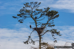 2015-02-22 Ladner Bald Eagles and Nest-17 (Michael Schmidt Photography Vancouver) Tags: blue 2 two orange brown black tree green bird yellow clouds photography parents artwork beige sitting nest beak wallart raptor perched birdofprey pictureperfect talons geolocation giclee photoprints ladnerbc canvasart baldeaglehaliaeetusleucocephalus matingpair canvasprints geocity exif:make=sony geocountry camera:make=sony southdeltabc geostate exif:aperture=ƒ11 exif:model=slta77v camera:model=slta77v michaelschmidtphotographyvancouverbc wwwmichaelschmidtphotographycom httpwwwflickrcomphotosdmichaelschmidtsets exif:lens=70400mmf456gssm exif:isospeed=50 exif:focallength=180mm dmschmidtshawca httpswwwfacebookcommsphotographyvancouver httpswwwthisiswhatiseeca michaelmspixca geo:lon=12312714166667 geo:lat=4907971