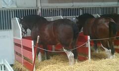 (meyercarol) Tags: horse leigh budweiser clydesdale