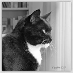 Cortez in black and white (Cajaflez) Tags: portrait blackandwhite pet white black cat kat chat zwartwit profile tuxedo katze cortez portret gatto huisdier haustier kater diabetes profiel suikerziekte saariysqualitypictures