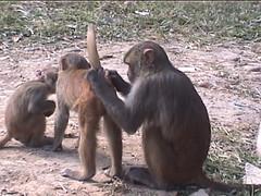 Rhesus Macaques in Kathmandu