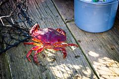 crab (kevin.boyd) Tags: red canada rock fauna pier bucket bc pacific northwest crab victoria sidney trap yyj