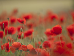 Un rve **---+--- (Titole) Tags: poppies blurred titole nicolefaton flou impression red many explored friendlychallenges thechallengefactory 15challengeswinner