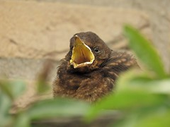 blackbird young (_BieFeen) Tags: nature canon zoom blackbird vogel merel sx60hs