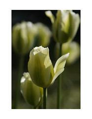 Reaching Out (Monty T) Tags: light sun vertical tulip statuesque