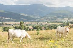 Valle de Mena (14) (cynefin_) Tags: httpcargocollectivecomcynefin valle de mena merindades burgos castilla y len villasana cynefin vaca vacas animales paisaje naturaleza
