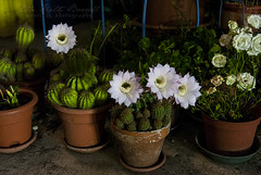Cactus' flowers (by night) (The girl with the dress) Tags: flowers white nature stilllife freetime light