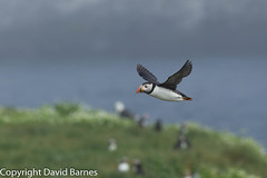 Puffin over Staple Island (Wild About.......) Tags: uk nature birds fauna unitedkingdom wildlife northumberland puffin british farneislands naturephotography fraterculaarctica 1d4 flightshot